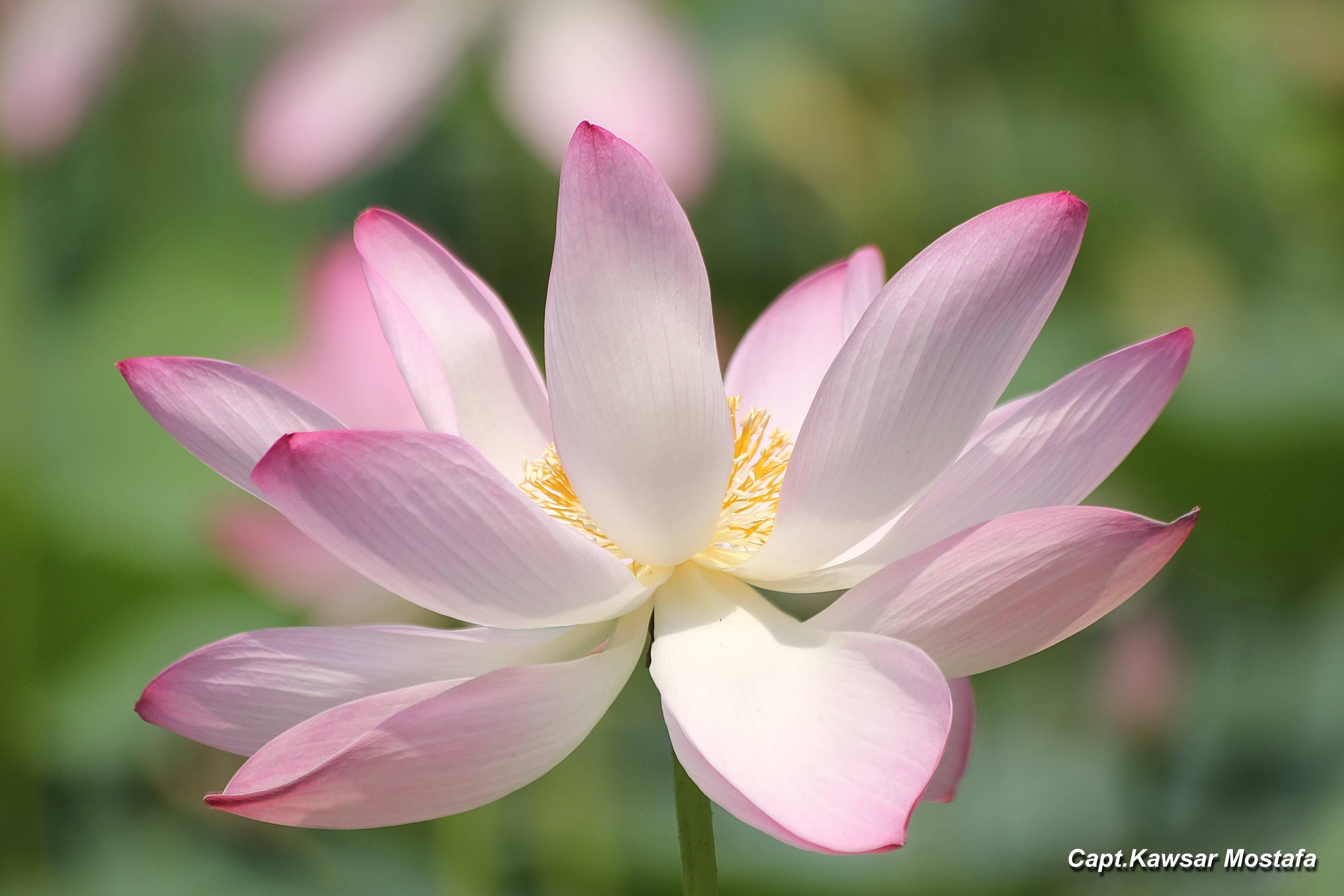 Lotuspadha nssb common name izmirmasajfo Choice Image