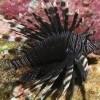 Black Lion Fish (Black  Pterois Volitans)