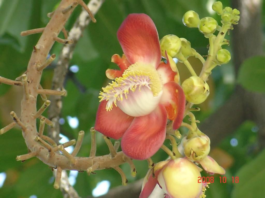 Canon Ball flower