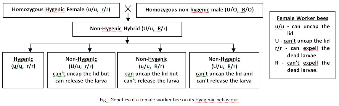 Genetics of a female worker bee on its Hyagenic behaviour