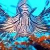Lion Fish (Pterois antennata)
