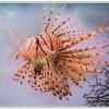 Lion Fish (Pterois antennata)2