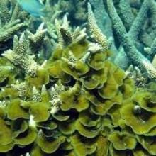 Soft coral – Lobopora sp.