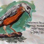 Chestnut-Tailed Starling (Sturnus malabaricus)