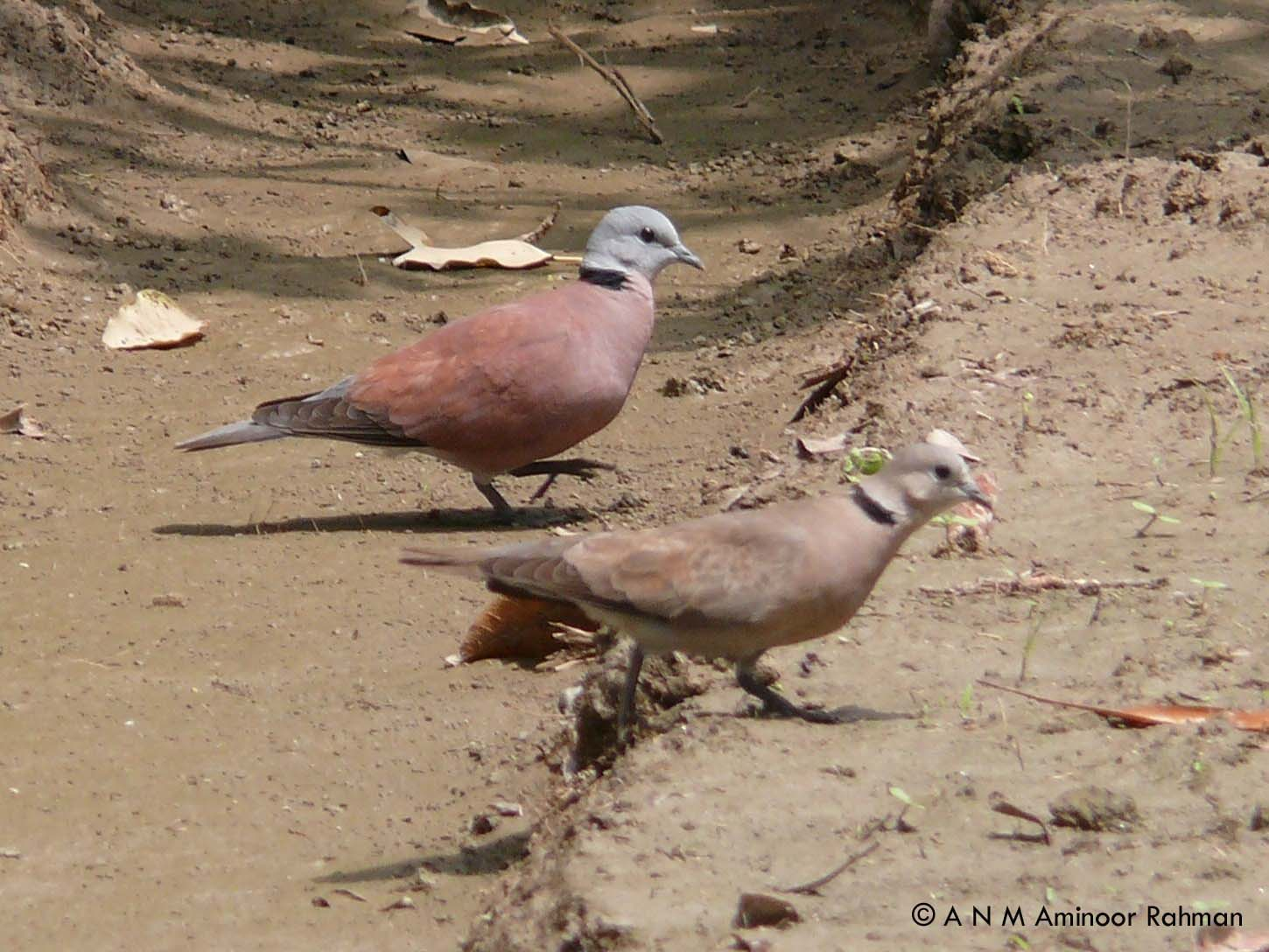 Red Turtle Dove (Male & Female)_BOU