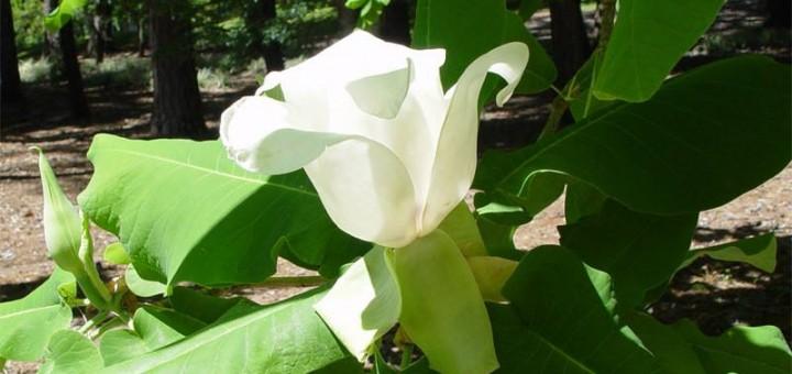 Magnolia macrophylla subsp. ashei