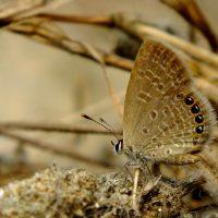 বাংলাদেশে প্রাপ্ত সবচেয়ে ছোট প্রজাপতি