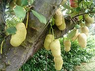 193px-Jackfruit_tree_Singapore