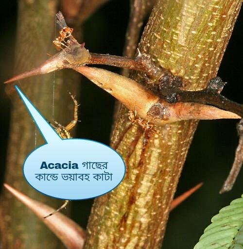 Acacia kata