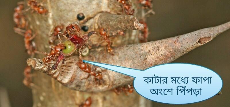 Ant and acacia