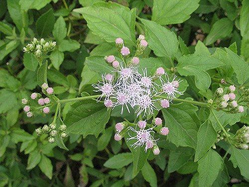 Chromolaena odorata (Eupatorium odoratum)