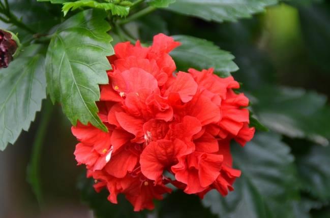 রক্ত জবা Hibiscus rosa-sinensis L.
