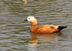 Ruddy shelduck