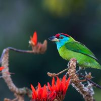 Blue-throated Barbet