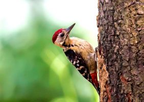 Fulvous-breasted woodpecker