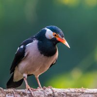Asian Pied Starling/Pied Myna