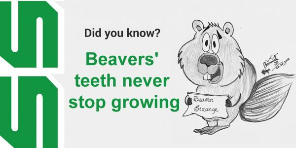 Beavers' teeth never stop growing