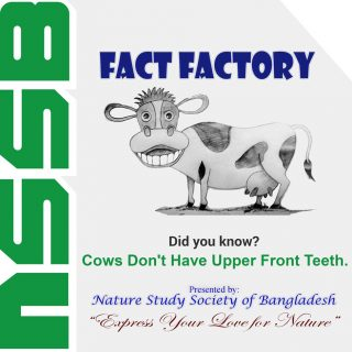 Cows Don't Have Upper Front Teeth
