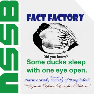 Some ducks sleep with one eye open