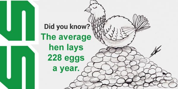 The average hen lays 228 eggs a year