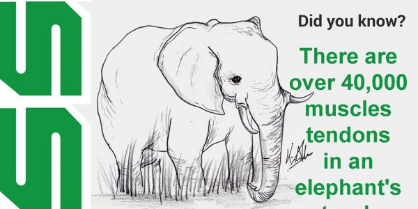There are over 40,000 muscles in an elephant's trunk