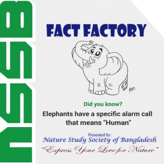 Elephants have a specific alarm call- that means HUMAN