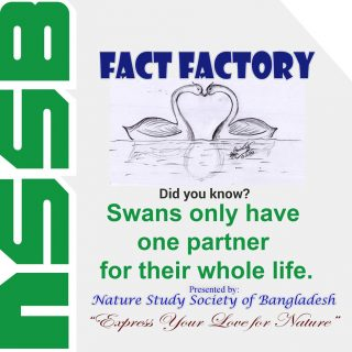 Swans only have one partner for their whole life