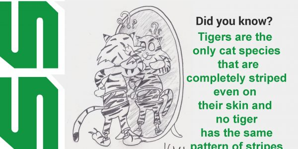Tigers are the only cat species that are completely striped even on their skin and no tiger as the same pattern of strips