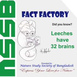 Leeches have 32 brains