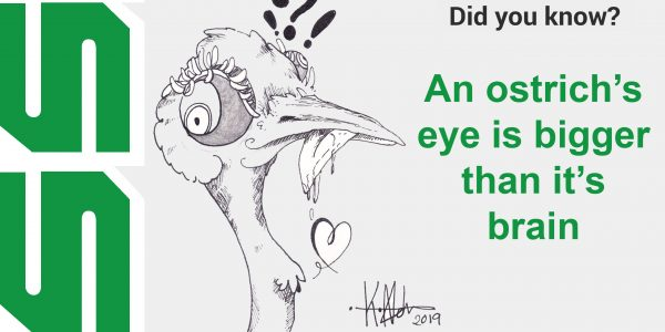 An ostrich's eye is bigger than it's brain