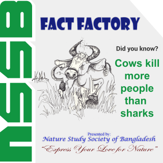 Cows kill more people than sharks