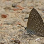 Pointed Ciliate Blue