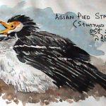 Asian Pied Starling (Sturnus contra)