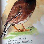 Common Myna (Acridotheres trintis)