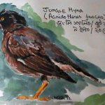 Jungle Myna (Acridotheres fuscus)