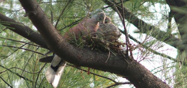 Red Turtle Dove milk Feeding_BOU