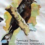 Spangled Drongo (Dicrurees hottentottus)