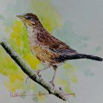 Broad Tailed Grass Bird