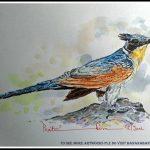 Chestnut Winged Cuckoo
