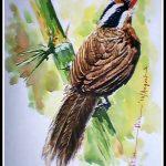 Coral Billied Scmiter Babbler