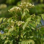 Curry leaves in a tree