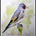 Eurasian Gold Finch