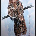 Long Tailed NightJar
