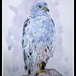 Montagues Harrier