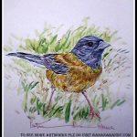 Patagonia Finch