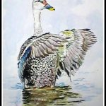 Spotted Billed Duck
