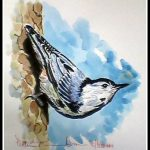 White Breasted Nutatch