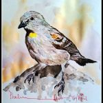 Yellow Throated Sparrow