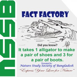 It takes 1 alligator to make a pair of shoes and 3 for a pair of boots